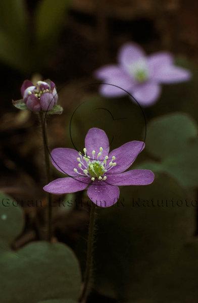 Blåsippa  (Hapatica nobilis)
