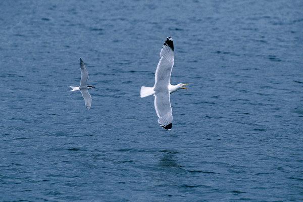 Fisktärna, Sterna hirundo, jagar Gråtrut, Larus argentatus.
