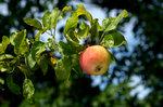 apple711.jpg