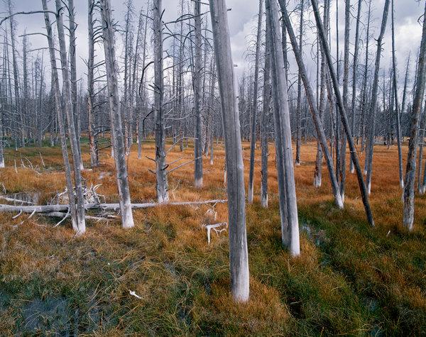 Död skog efter brand.