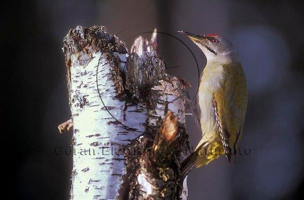 Gråspett   (Picus canus)