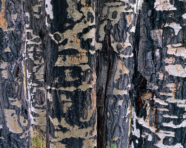 Asp. trädstammar.