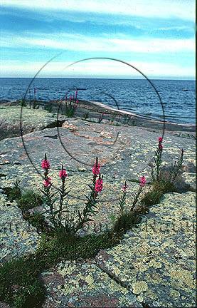 Fackelblomster     (Lythrum salicaria)