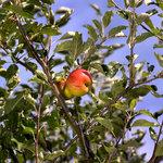 apple821.jpg