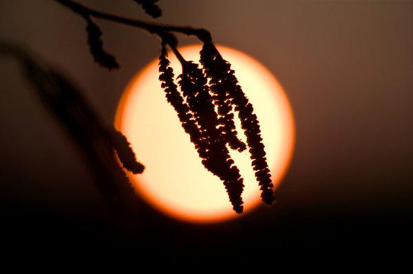 Hassel, Corylus avellana, i solnedgång.