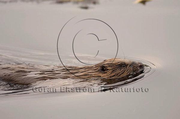 Bäver  (Castor fiber)