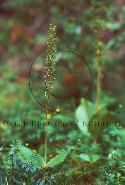 Tvåblad   (Listera ovata)