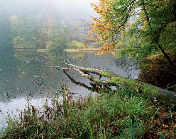 Bok,Fagus sylvatica, skog i dimma.