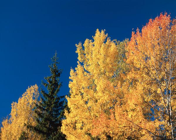 Asp, Populus tremula i höstfärger.