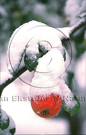 Nysnö över äpplekvist