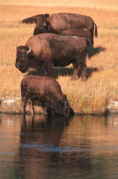 Bison (Bison bison) dricker vatten.