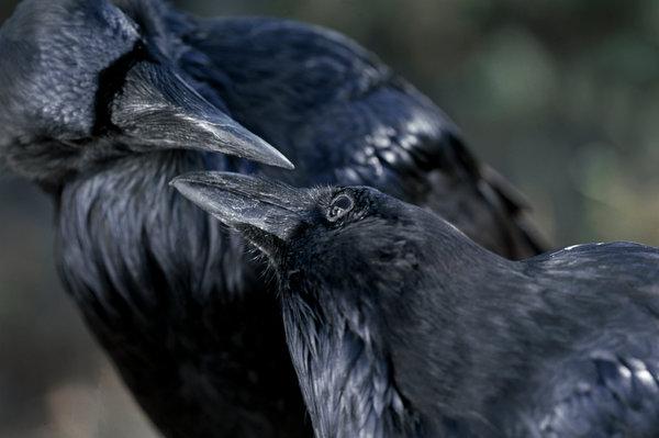 Korp, corvus corax.