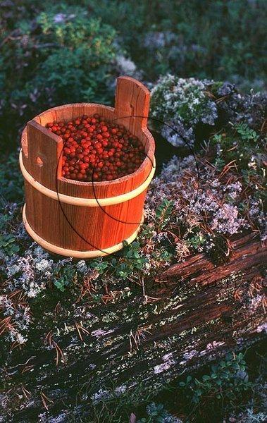 Lingon  (Vaccinium vitis-idaea)