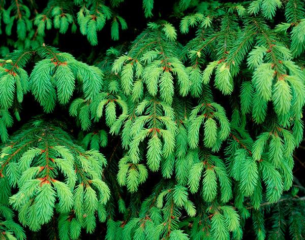 Granskott (Picea abies)