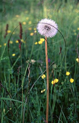 Maskros    (Taraxacum vulgaria)
