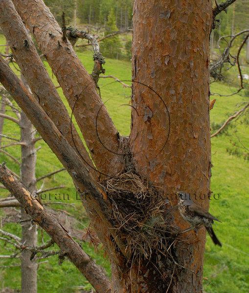 Björktrast   (Turdus pilaris)