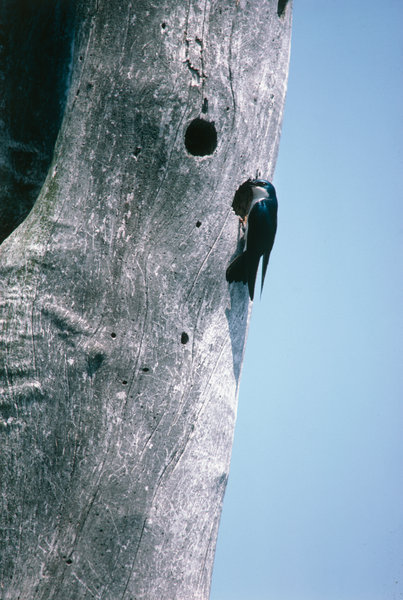 Tree svallow (Iridoprocne bicolor) vid bohålet.