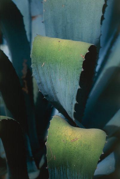 Kaktus.Blad.