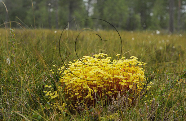 Gul parasollmossa (Splachnum luteum)