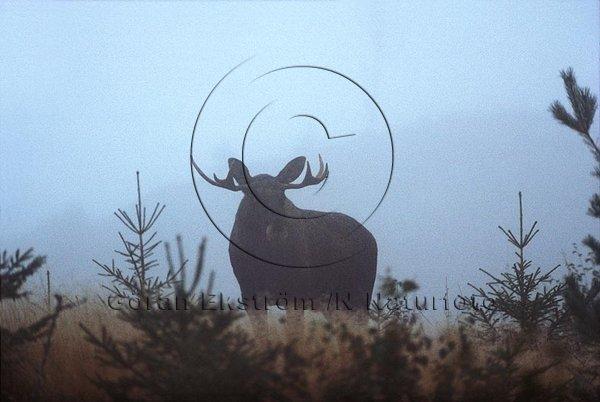 Älgtjur i dimma  (Alces alces)