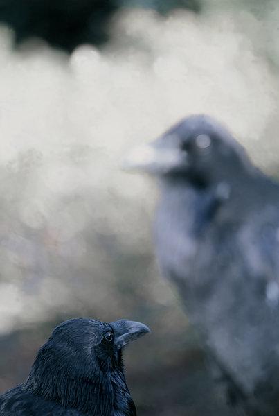 Raven. Corvus corax.
