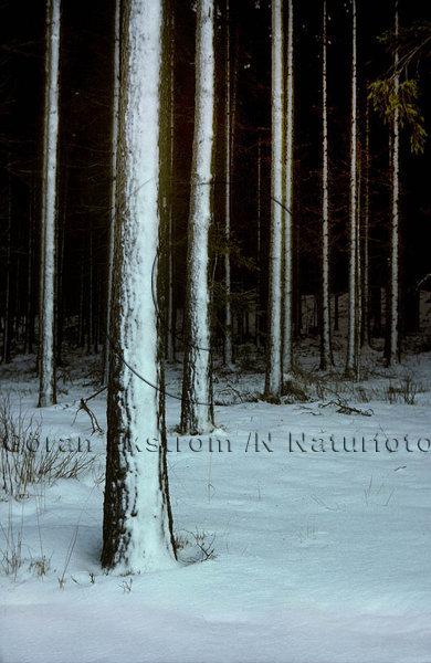Snö på trädstammar