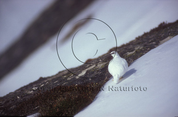 Fjällripa  (Lagopus mutus)
