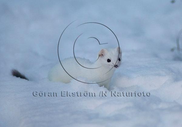 Hermelin i vinterdräkt  (Mustela erminea)