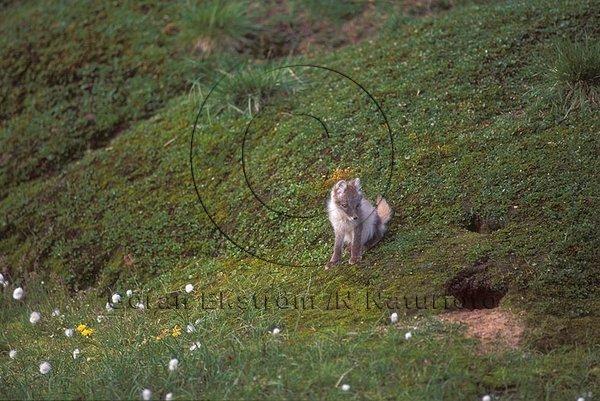 Fjällräv    (Alopex lagopus)