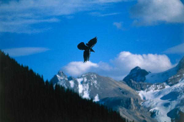 Korp (Corvus corax).