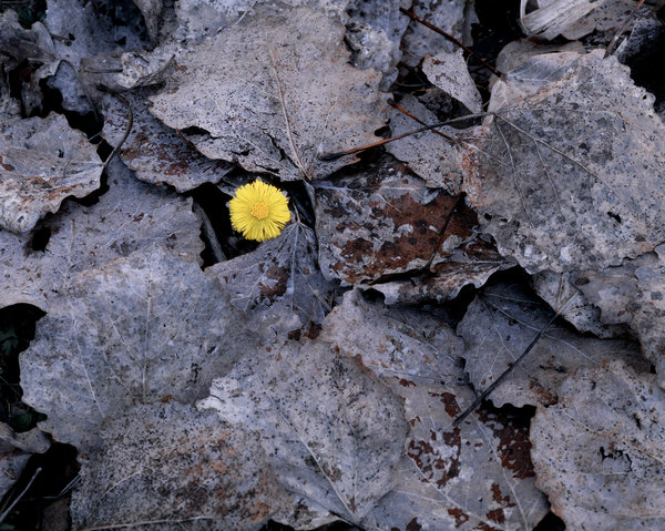 Hästhov (Tussilago farfara) bland asplöv (Populus tremula).