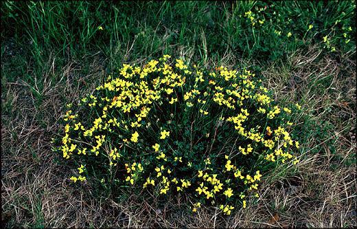 Käringtand    (Lotus corniculatus)