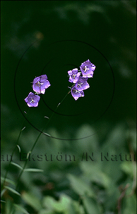 Stor blåklocka     (Campanula persicifolia)