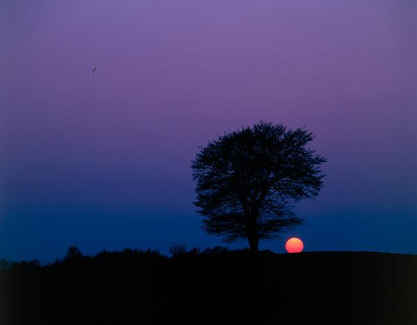 Träd i solnedgång.