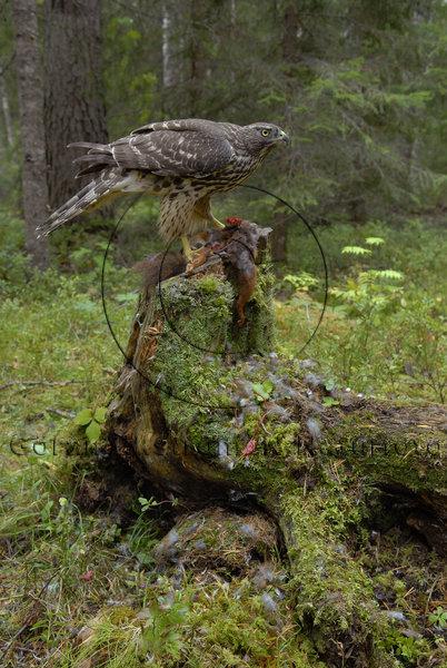 Duvhök  (Accipiter gentilis)