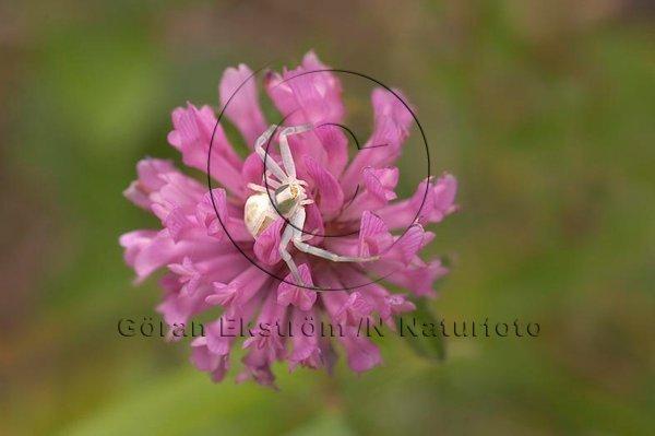 Blomkrabbspindel  på rödklöver