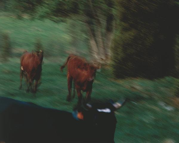 Kor på språng.