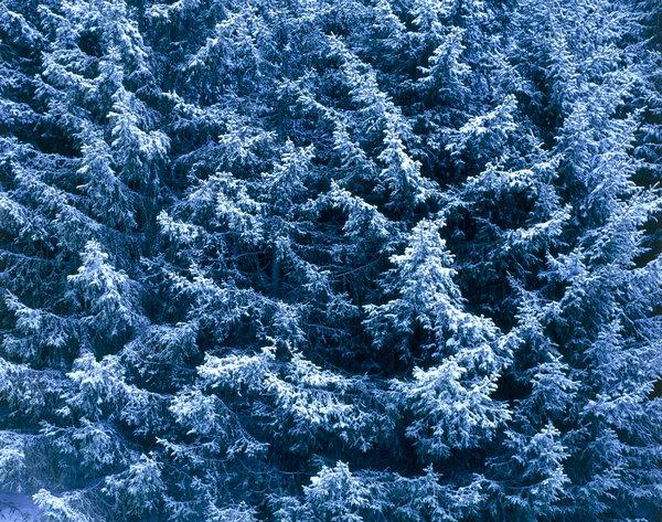 Gran, Picea abies.
