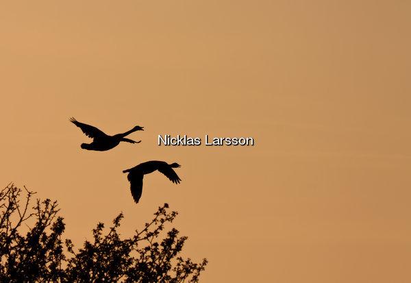 Kanadagäss över Stora Amundö