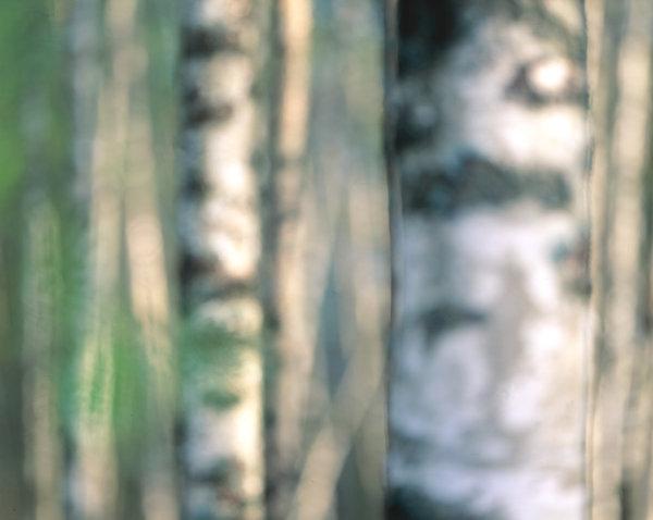 Vårtbjörk (Betula pendula).