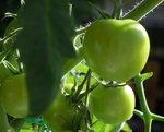 tomat20121.jpg