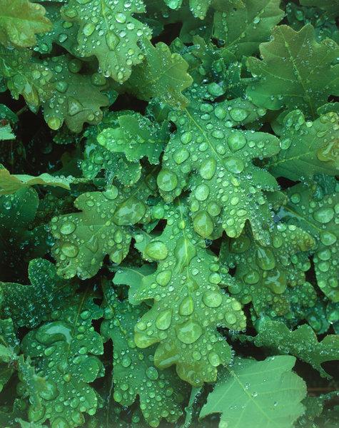 Vattendroppar på blad från Ek(Quercus robur).