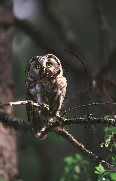Pärluggla  (Aegolius funereus)