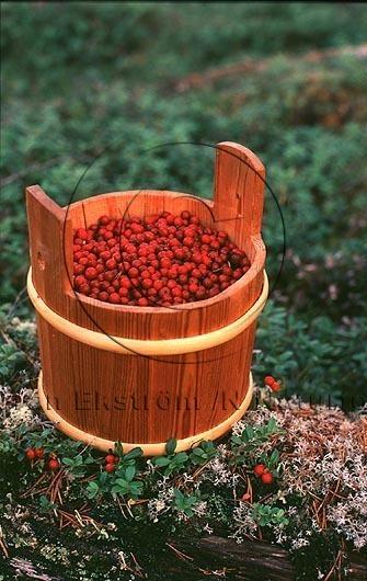 Lingon   (Rubus chamaemorus)