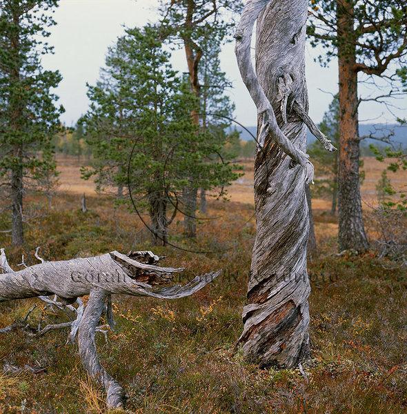 Gamla torrträd