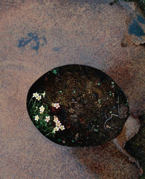 Tuvbräcka(Saxifraga cespitosa) växer ur plåtbit.
