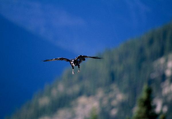Korp (Corvus corax) över skogslandskapet.