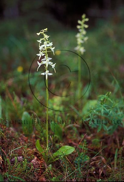 Nattviol   (Platanthera bifolia)