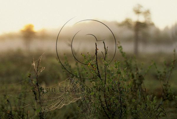 Daggdroppar i spindelnät