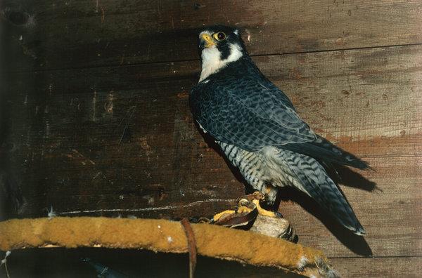Pilgrimsfalk (Falco peregrinus) i fångenskap.